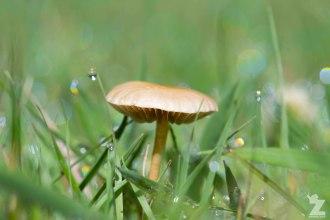 Gilled Mushroom (Agaricales)