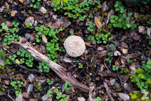 [FUNGI] (4) Kaweka Forest Park, New Zealand 20-01-2018