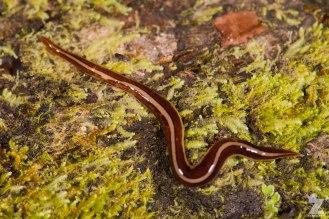 Flatworm AKA Land Planarian (Geoplanidae)