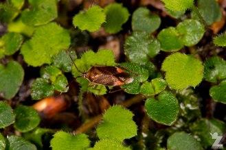 A Plant Bug (Miridae)