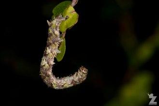 A caterpillar (Lepidoptera)