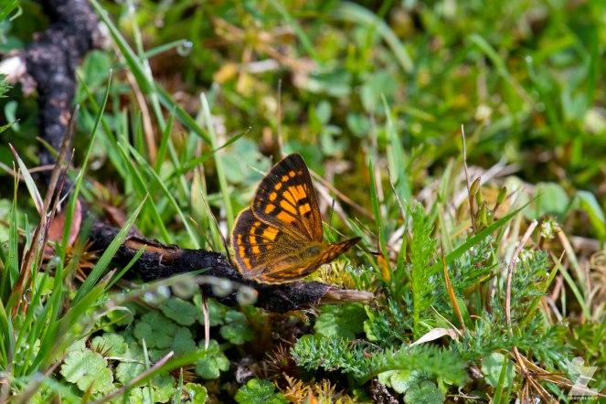 Glade Copper Butterfly (Lycaena feredayi complex)