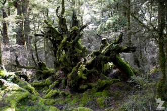 Moss Covered Up-turned Trees, Kaweka Forest Park, New Zealand 20-01-2018