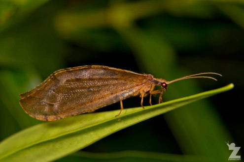 Lacewing (Neuroptera)