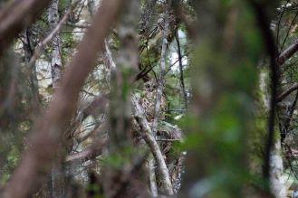 Ruru AKA Morepork (Ninox novaeseelandiae ssp. novaeseelandiae)
