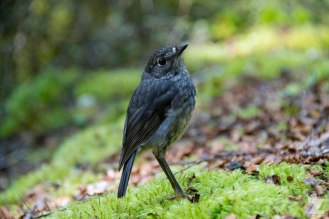North Island Robin (Petroica australis ssp. longipes)