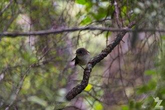 Juvenile North Island Tomtit (Petroica macrocephala ssp. toitoi)