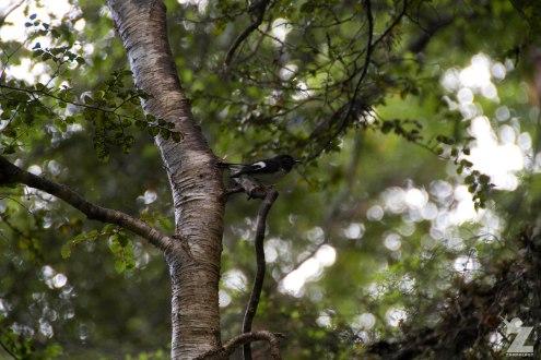 North Island Tomtit (Petroica macrocephala ssp. toitoi)