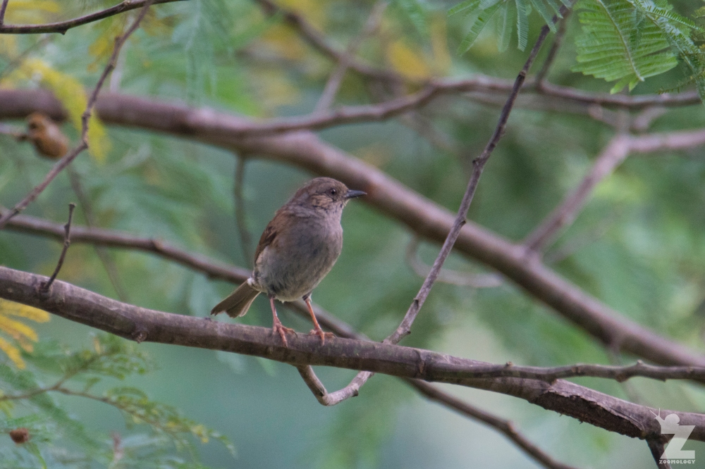 Prunella modularis [DUNNOCK] 06-01-2018 Ruatiti, New Zealand