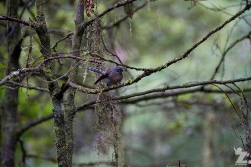 A dark morph fantail (Rhipidura fuliginosa)