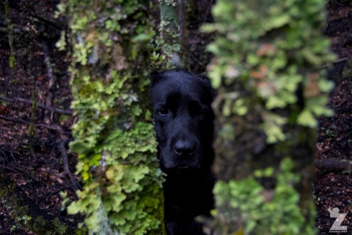 Sika Amongst Lichen, Kaweka and Kaimanawa Forest Park, New Zealand 20-01-2018