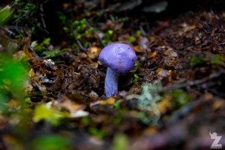 A Webcap Fungi (Cortinarius sp.)