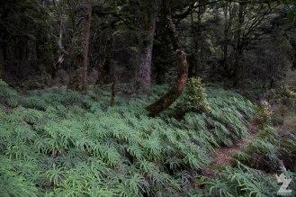A carpet of Umbrella fern (Sticherus cunninghamii)
