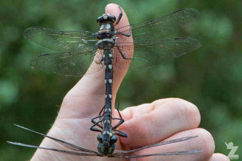 Giant Dragonflies (Uropetala sp.)