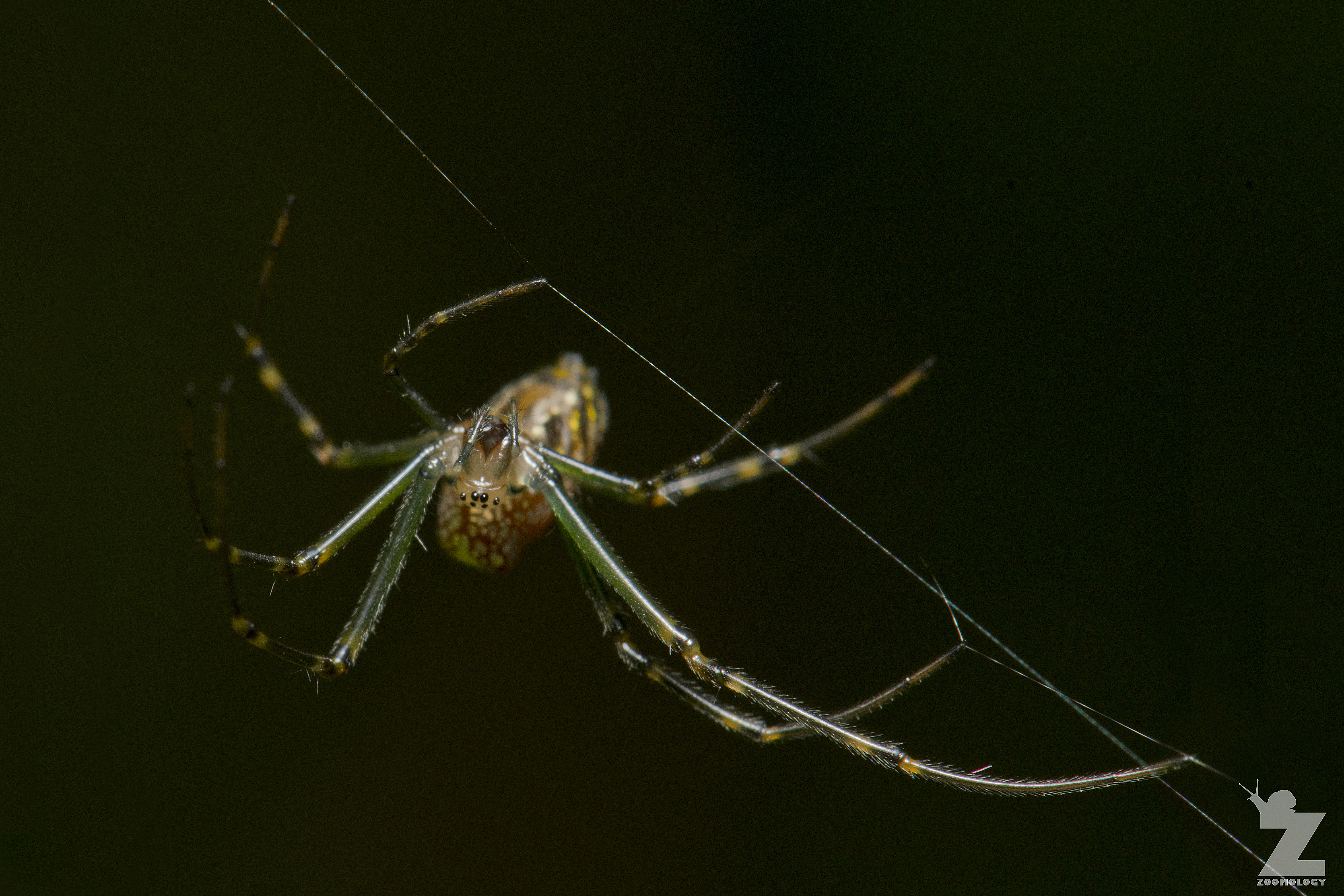 The Silver Orb Spider Leucauge Dromedaria Zoomology Blog