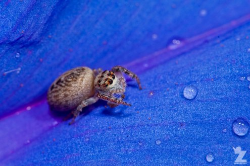 Opisthoncus polyphemus [POLKADOR JUMPING SPIDER] Tiarua, New Zealand 22.02.2018 Zoomology (12)