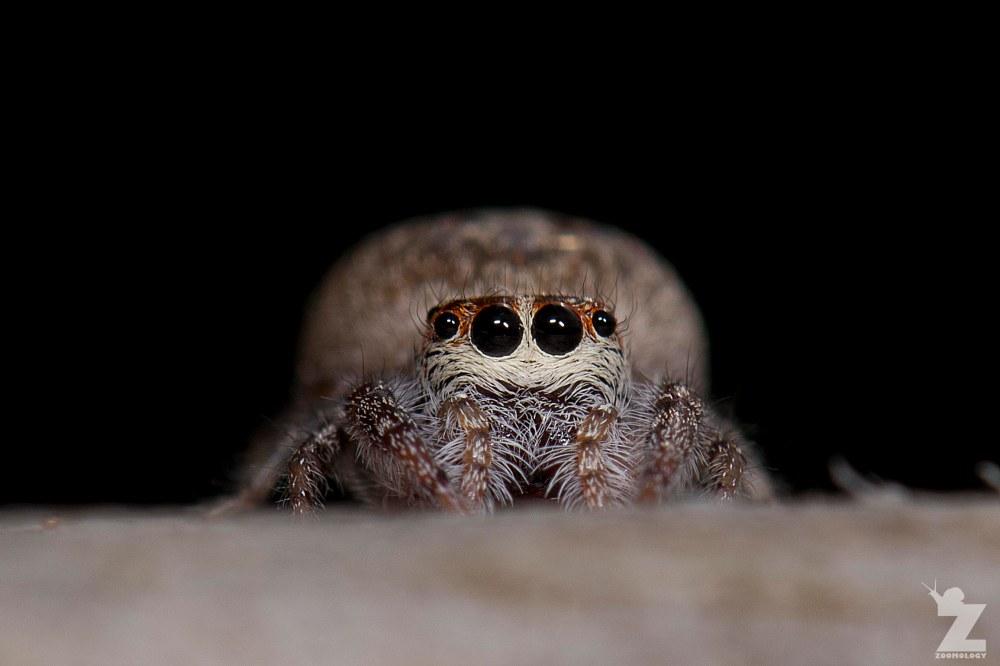 Opisthoncus polyphemus [POLKADOR JUMPING SPIDER] Tiarua, New Zealand 22.02.2018 Zoomology (5)