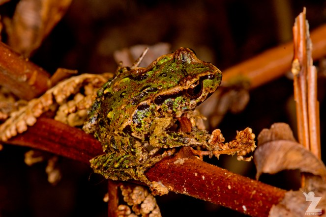Leiopelma archeyi [ARCHEY'S FROG] Mahakirau Forest Estate, New Zealand 16-02-2018 Zoomology (1)