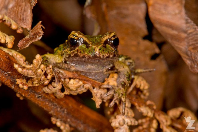 Leiopelma archeyi [ARCHEY'S FROG] Mahakirau Forest Estate, New Zealand 16-02-2018 Zoomology (13)