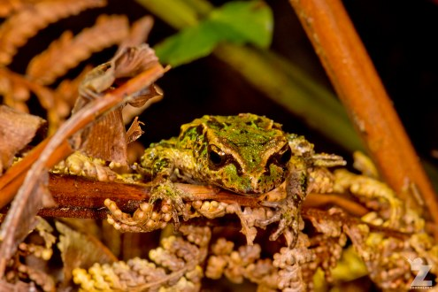 Leiopelma archeyi [ARCHEY'S FROG] Mahakirau Forest Estate, New Zealand 16-02-2018 Zoomology (16)