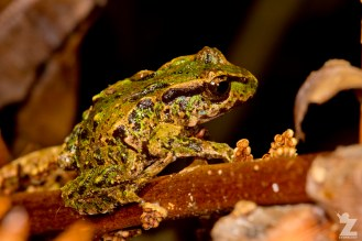Leiopelma archeyi [ARCHEY'S FROG] Mahakirau Forest Estate, New Zealand 16-02-2018 Zoomology (18)