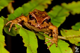 Leiopelma archeyi [ARCHEY'S FROG] Mahakirau Forest Estate, New Zealand 16-02-2018 Zoomology (4)