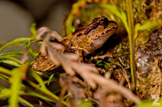 Leiopelma archeyi [ARCHEY'S FROG] Mahakirau Forest Estate, New Zealand 16-02-2018 Zoomology (8)