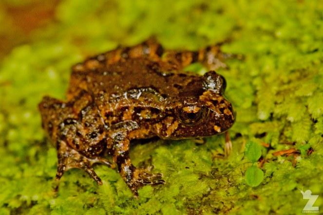 Leiopelma hochstetteri [HOCHSTETTER'S FROG] Mahakirau Forest Estate, New Zealand 17-02-18 Zoomology (1)