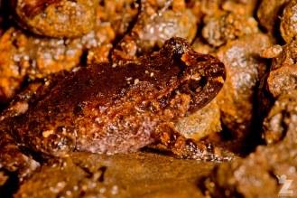 Leiopelma hochstetteri [HOCHSTETTER'S FROG] Mahakirau Forest Estate, New Zealand 17-02-18 Zoomology (5)
