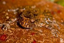 Leiopelma hochstetteri [HOCHSTETTER'S FROG] Mahakirau Forest Estate, New Zealand 17-02-18 Zoomology (6)