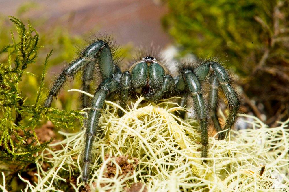 Porrhothele sp [TUNNELWEB SPIDER] Pohangina, New Zealand 17-12-2017 Zoomology(13)