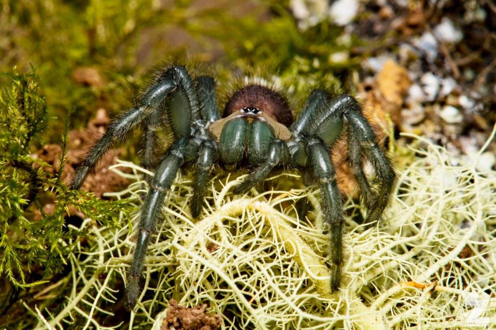 Porrhothele sp [TUNNELWEB SPIDER] Pohangina, New Zealand 17-12-2017 Zoomology(14)
