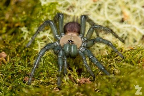 Porrhothele sp [TUNNELWEB SPIDER] Pohangina, New Zealand 17-12-2017 Zoomology(17)