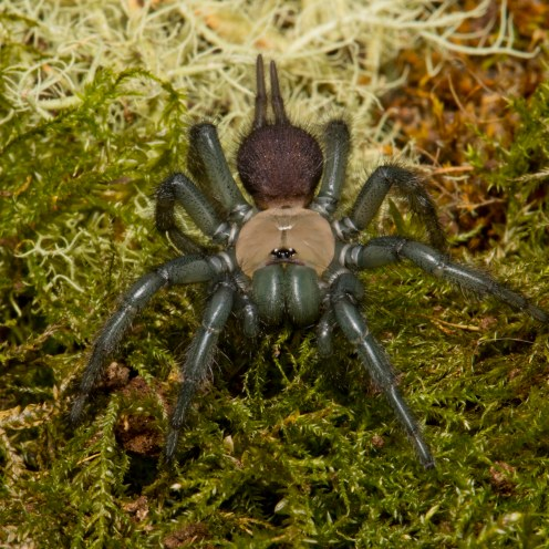 Porrhothele sp [TUNNELWEB SPIDER] Pohangina, New Zealand 17-12-2017 Zoomology(18)