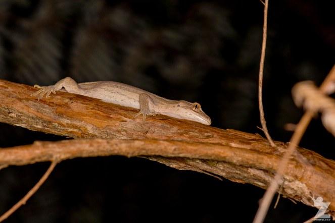 "Toropuku ""Coromandel"" [COROMANDEL STRIPED GECKO] Mahakirau Forest Estate, New Zealand 16-02-18 Zoomology (45)"