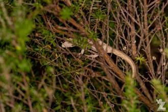 "Toropuku ""Coromandel"" [COROMANDEL STRIPED GECKO] Mahakirau Forest Estate, New Zealand 16-02-18 Zoomology (46)"