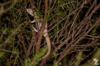 "Toropuku ""Coromandel"" [COROMANDEL STRIPED GECKO] Mahakirau Forest Estate, New Zealand 16-02-18 Zoomology (47)"