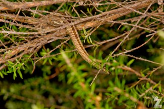 "Toropuku ""Coromandel"" [COROMANDEL STRIPED GECKO] Mahakirau Forest Estate, New Zealand 16-02-18 Zoomology (49)"
