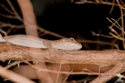 "Toropuku ""Coromandel"" [COROMANDEL STRIPED GECKO] Mahakirau Forest Estate, New Zealand 16-02-18 Zoomology (55)"