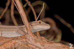 "Toropuku ""Coromandel"" [COROMANDEL STRIPED GECKO] Mahakirau Forest Estate, New Zealand 16-02-18 Zoomology (56)"