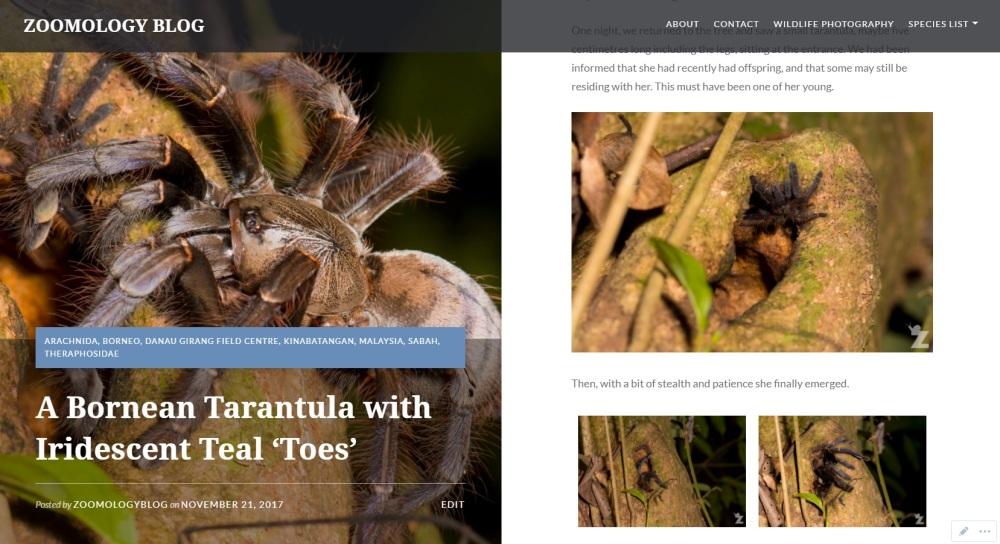 Zoomology - Bornean Tarantula