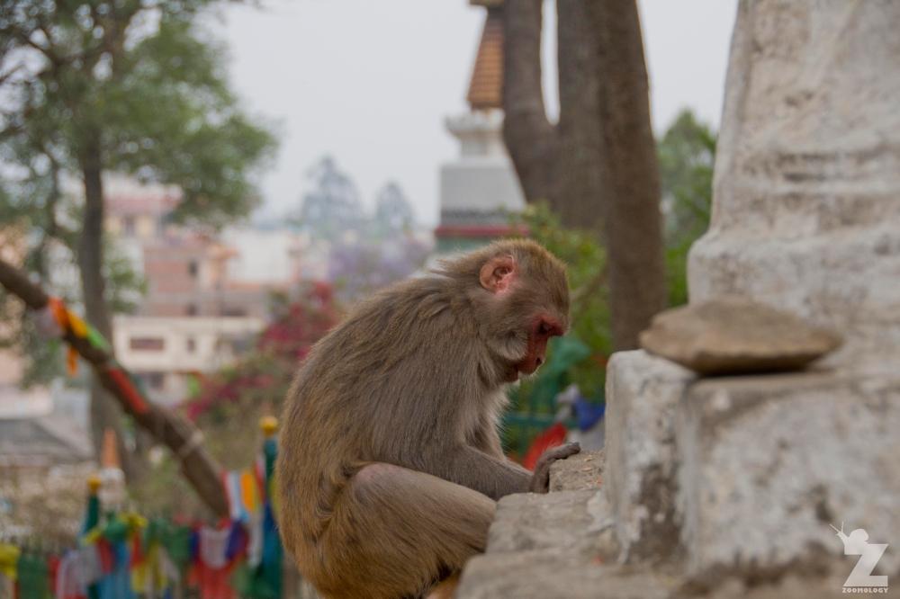 Macaca mulatta [RHESUS MACAQUES] Swayambhunath Stupa, Kathmandu, Nepal 25.04.2018 Zoomology (16).jpg