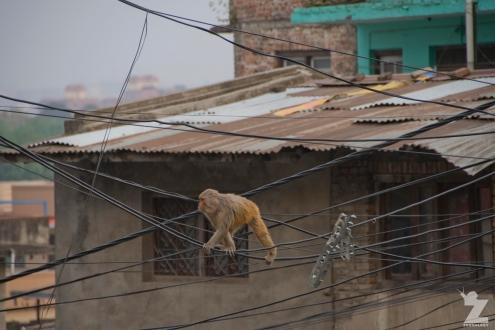 Macaca mulatta [RHESUS MACAQUES] Swayambhunath Stupa, Kathmandu, Nepal 25.04.2018 Zoomology (28)