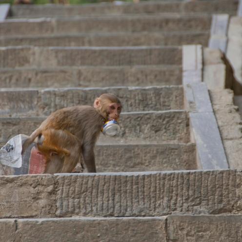 Macaca mulatta [RHESUS MACAQUES] Swayambhunath Stupa, Kathmandu, Nepal 25.04.2018 Zoomology (34)