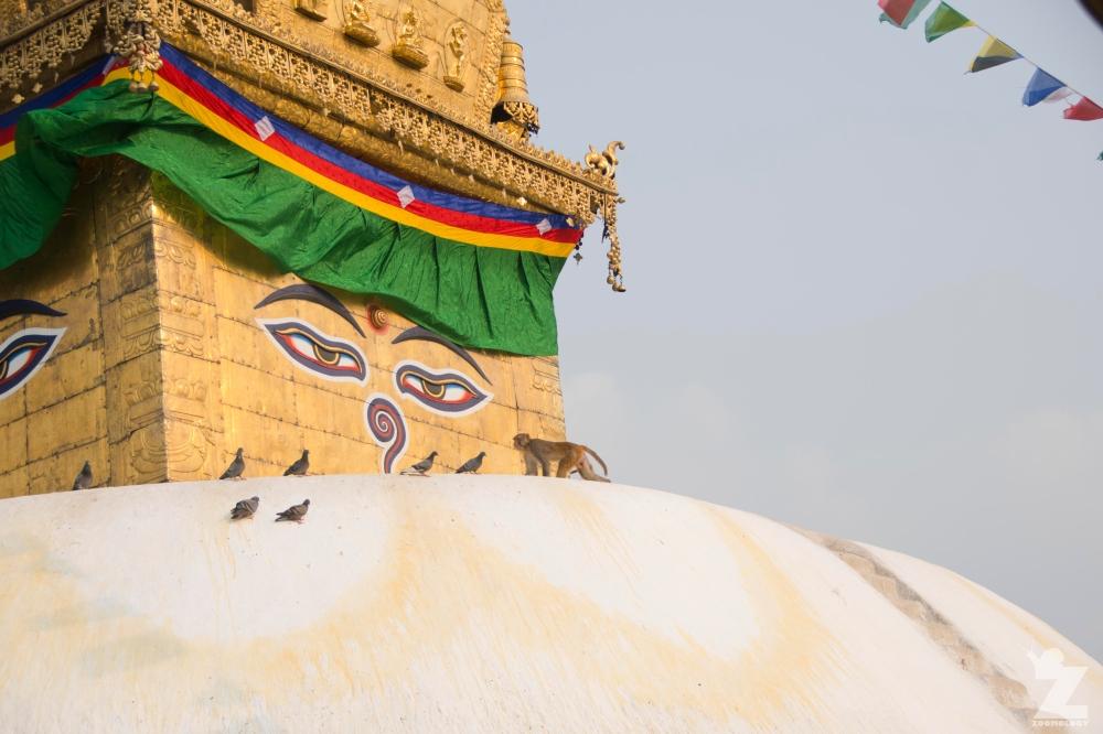 Rhesus Macaques of Swayambhunath Stupa, Nepal – ZOOMOLOGY BLOG