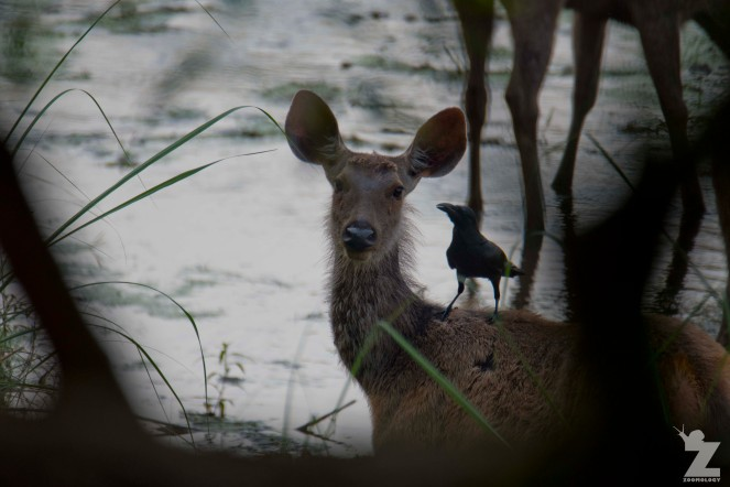 Barasingha or Swamp Deer (Rucervus duvaucelii) with a companion