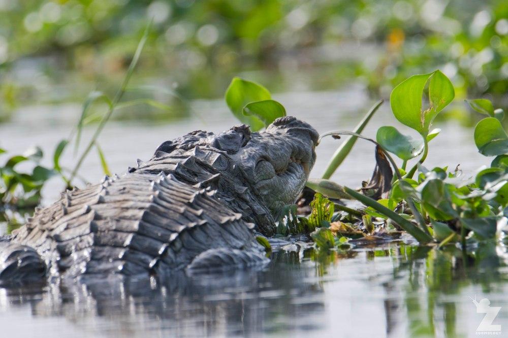 Crocodylus palustris [MUGGER] Chitwan National Park, Nepal 22-04-2018 Zoomology (3).jpg