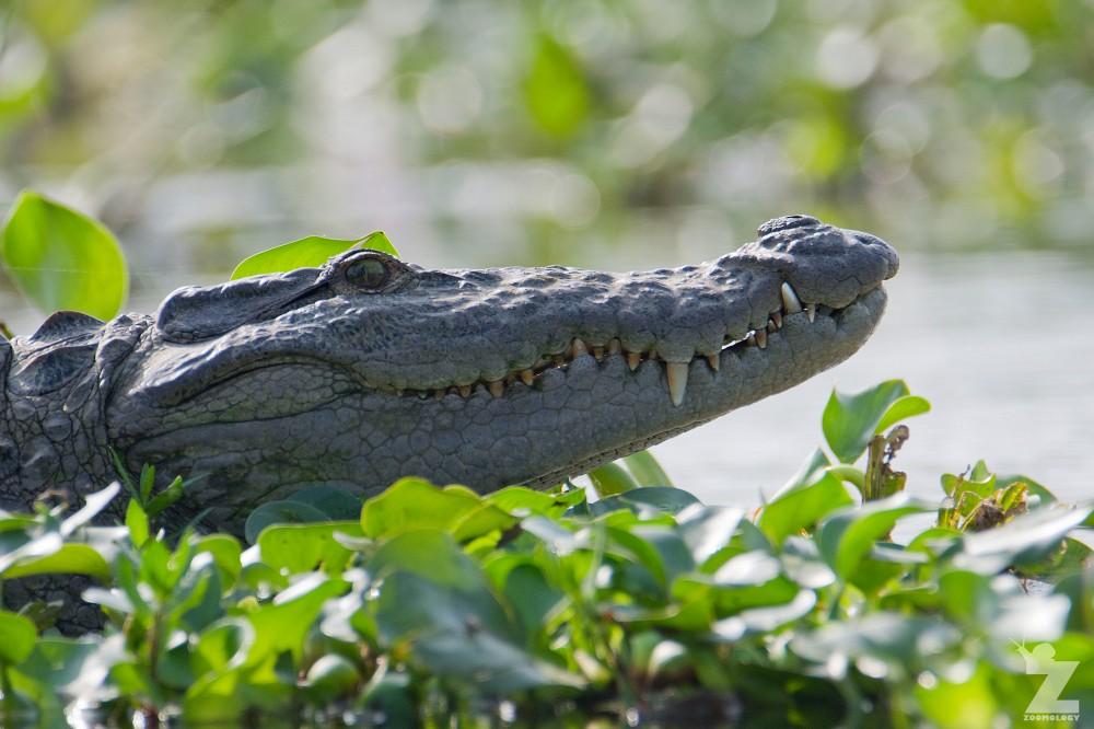 Crocodylus palustris [MUGGER] Chitwan National Park, Nepal 22-04-2018 Zoomology