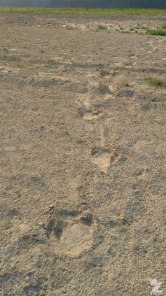 Rhino footprints in the sand.