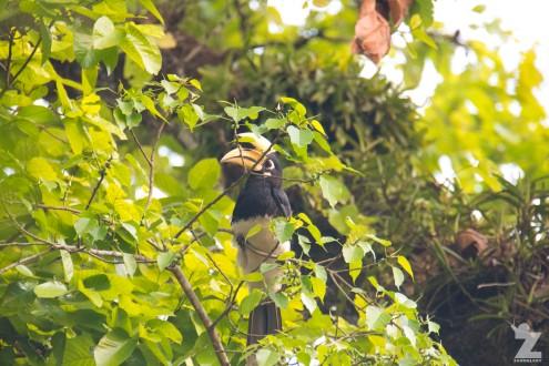 Anthracoceros albirostris [ORIENTAL PIED HORNBILL] Chitwan National Park, Nepal 22.04.2018 Zoomology (1)